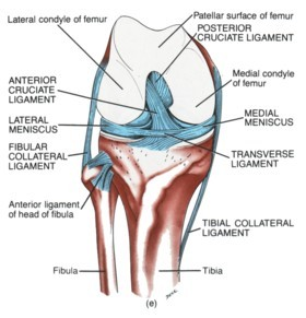 ACL ligament injury picture used from Principles of Anatomy and Physiology
