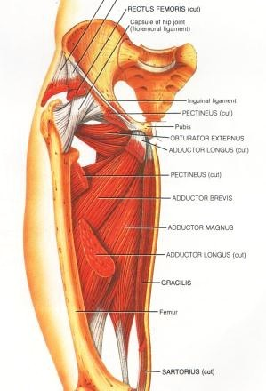 Adductor Muscle Group picture used from Principles of Anatomy and Physiology