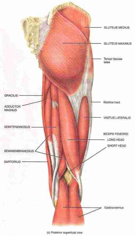 Hamstring Muscle Group picture used from Principles of Anatomy and Physiology