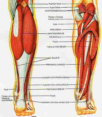 Lower Leg Muscle Group picture used from Principles of Anatomy and Physiology