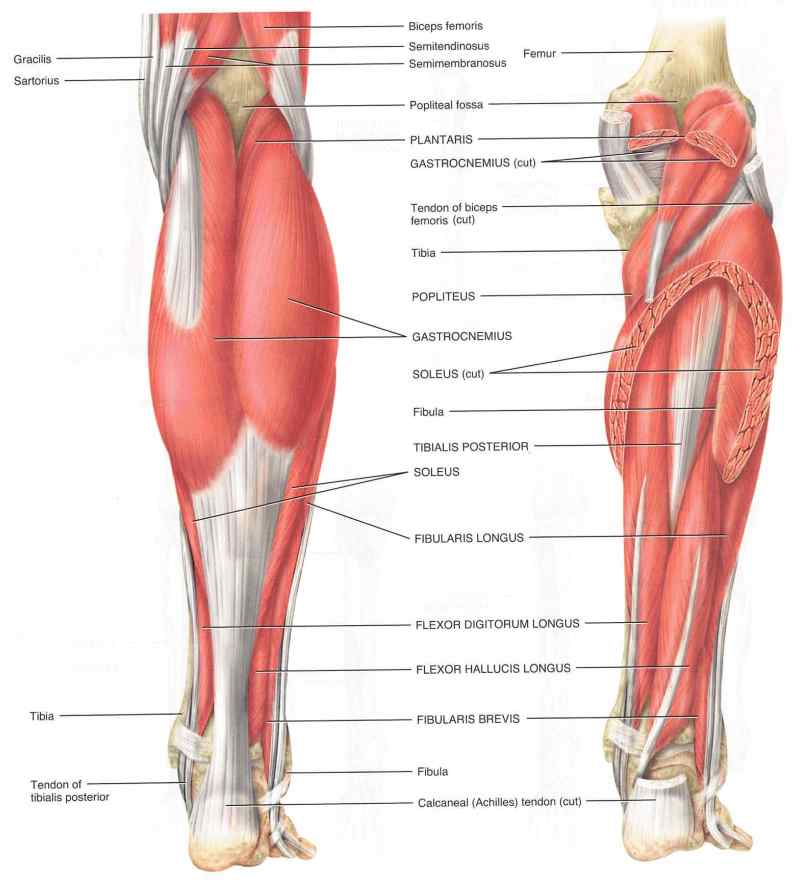 Stretches for shin splints shin splints stretching videos lower leg muscle group picture used from principles of anatomy and physiology ccuart Gallery