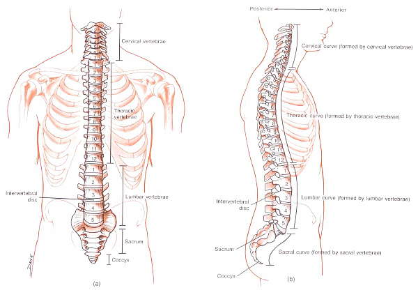 Spinal column picture used from Principles of Anatomy and Physiology