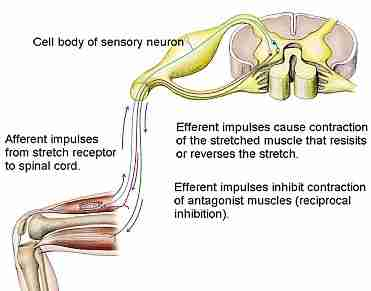 The Stretch Reflex (Myotatic Reflex) image from the Anatomy of Stretching