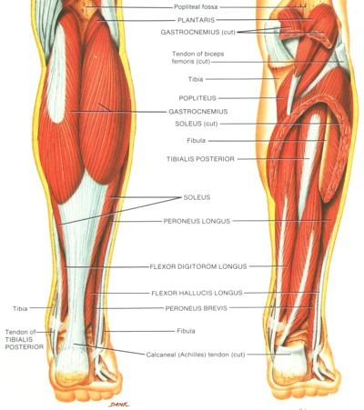 Achilles tendon picture used from Principles of Anatomy and Physiology
