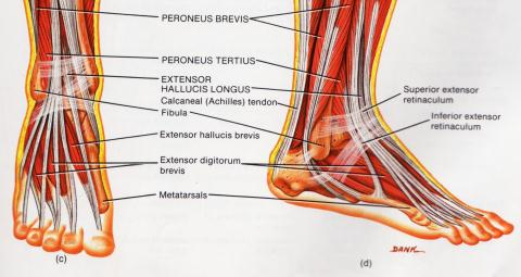Ankle Synovitis anatomy picture used from Principles of Anatomy and Physiology