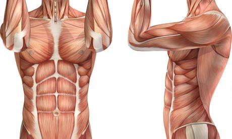 Core muscle anatomy