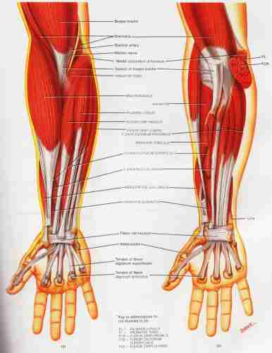 Tennis Elbow Muscle Group picture used from Principles of Anatomy and Physiology
