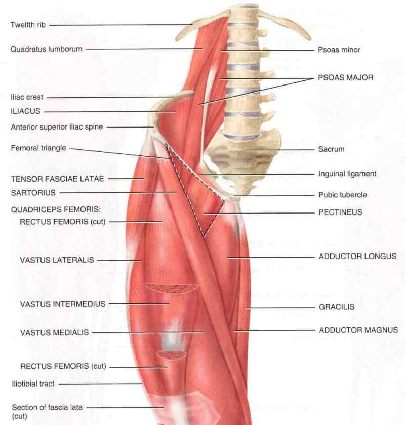 Iliopsoas Muscle picture used from Principles of Anatomy and Physiology