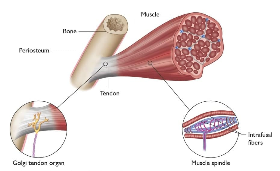 Muscle spindle diagram from the Anatomy of Stretching