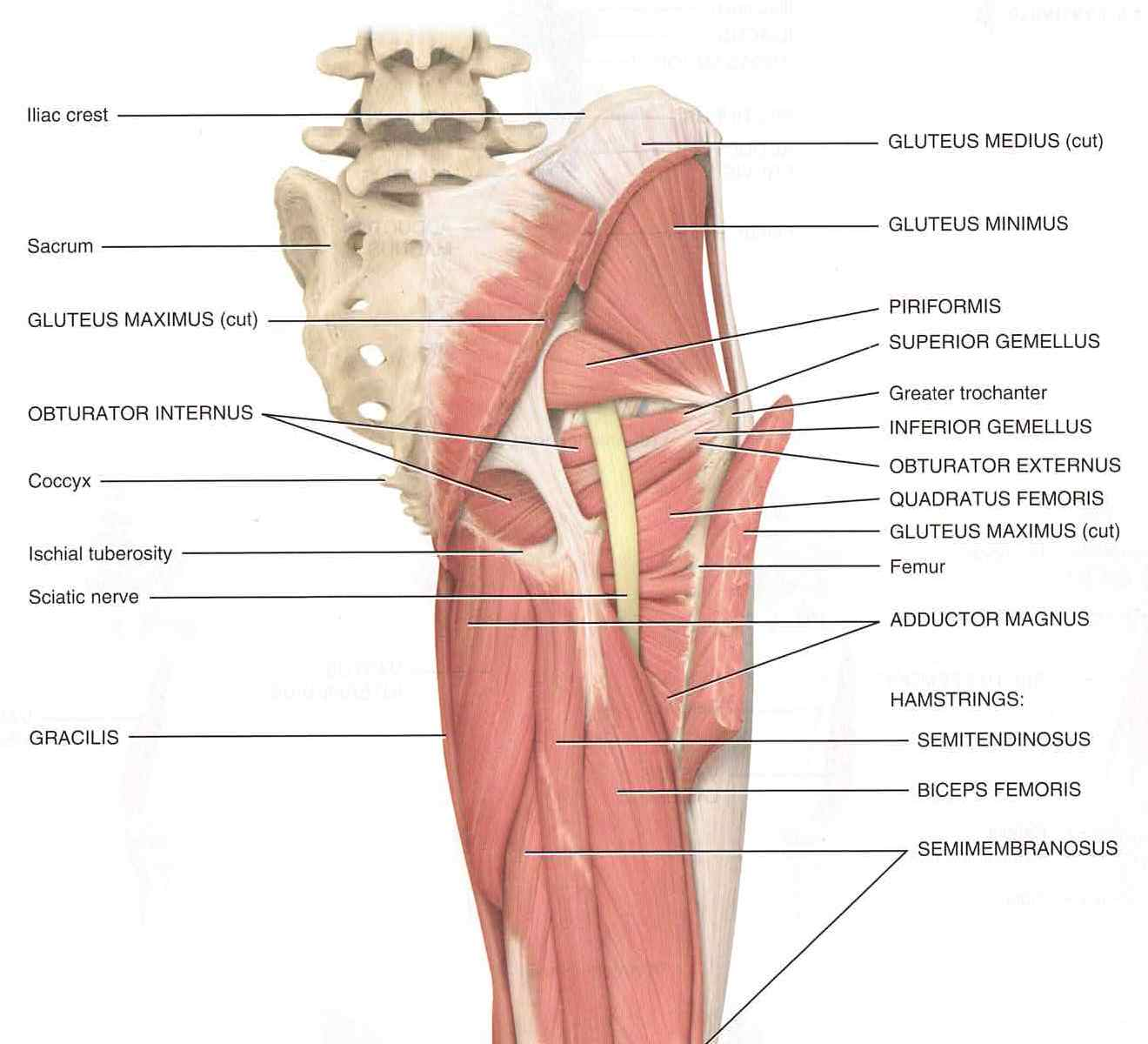 Piriformis Muscle picture used from Principles of Anatomy and Physiology