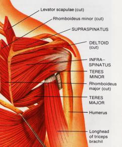 Rotator cuff muscle group picture used from Principles of Anatomy and Physiology