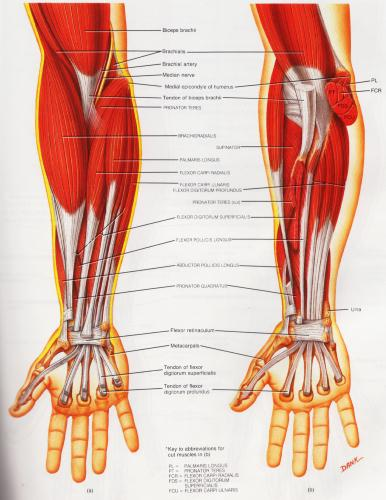 Throwers elbow muscle group picture used from Principles of Anatomy and Physiology